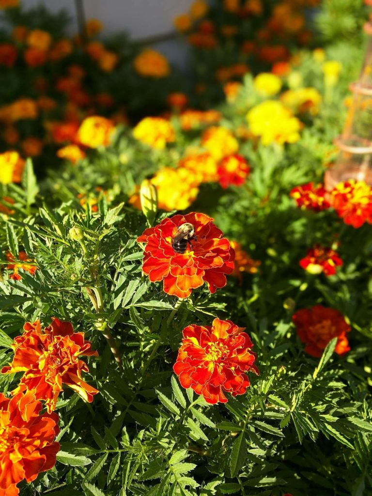 summertime-marigolds-honey-bee